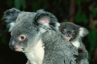 コアラの親子 ゴールドコースト オーストラリア 02296000291  写真素材・ストックフォト・画像・イラスト素材 アマナイメージズ