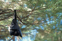 クロオオコウモリ