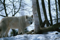 雪原のタイリクオオカミ チャーチル カナダ 02296000328| 写真素材・ストックフォト・画像・イラスト素材|アマナイメージズ