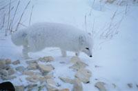 雪原のホッキョクギツネ チャーチル カナダ