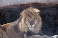 ライオンのオス 南アフリカ 02296000349  写真素材・ストックフォト・画像・イラスト素材 アマナイメージズ