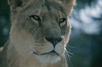 ライオンのメスのアップ 南アフリカ 02296000350  写真素材・ストックフォト・画像・イラスト素材 アマナイメージズ
