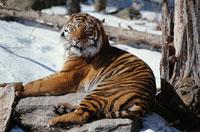 雪原に寝そべるトラ 中国