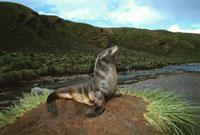 山のナンキョクオットセイ 夏 サウスジョージア島 亜南極