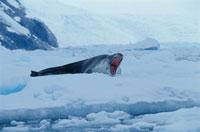 氷の上であくびをするヒョウアザラシ 夏 ジラード湾 南極