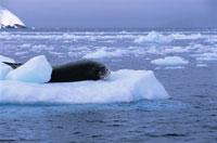氷の上のヒョウアザラシ 夏 南極