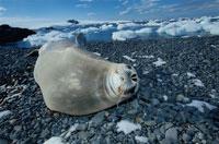 砂利の上のウェッデルアザラシ 夏 南極