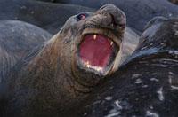 口を開けるミナミゾウアザラシ 夏 サウスジョージア島 南極