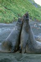 寄り添う2頭のミナミゾウアザラシ 夏 マッコウリー島 亜南極