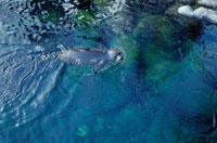 泳ぐバイカルアザラシ