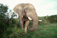 オスのアフリカゾウ 南アフリカ