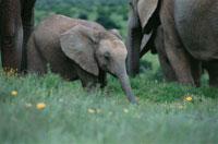 3頭のアフリカゾウ 南アフリカ