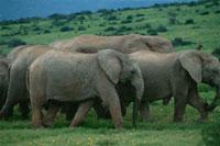 アフリカゾウの群れ 南アフリカ
