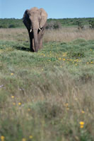 草原のオスのアフリカゾウ 南アフリカ