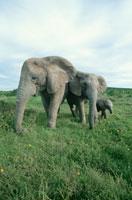 アフリカゾウの親子 南アフリカ