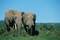 オスのアフリカゾウの群れ 南アフリカ