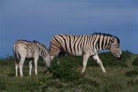 サバンナシマウマのつがい 南アフリカ 02296000499| 写真素材・ストックフォト・画像・イラスト素材|アマナイメージズ