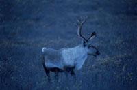 ツンドラのトナカイのオス デナリ国立公園 アラスカ