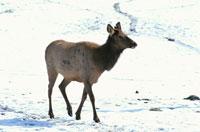 キジリジカ(ワピチ)    カナダ 02296000515| 写真素材・ストックフォト・画像・イラスト素材|アマナイメージズ