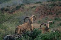 草原の2頭のバーバリーシープ 南アフリカ 02296000527  写真素材・ストックフォト・画像・イラスト素材 アマナイメージズ
