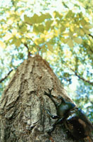木とカブトムシのオス 北上山地 岩手県