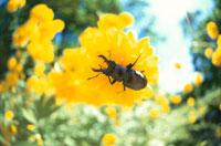 黄色の花とコクワガタのオス 北上山地 岩手県