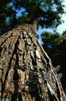 シオカラトンボ 北上山地 岩手県 02296000554| 写真素材・ストックフォト・画像・イラスト素材|アマナイメージズ