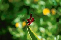 葉にとまるショウジョウトンボの仲間 ボルネオ マレーシア