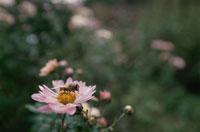 花にとまるハチ ホバート タスマニア オーストラリア