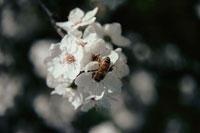 花にとまるハチ ホバート タスマニア オーストラリア 02296000559| 写真素材・ストックフォト・画像・イラスト素材|アマナイメージズ