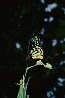 ケアンズバードウィング 02296000563| 写真素材・ストックフォト・画像・イラスト素材|アマナイメージズ