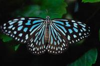 リュウキュウアサギマダラ 02296000564| 写真素材・ストックフォト・画像・イラスト素材|アマナイメージズ