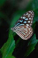 リュウキュウアサギマダラ 02296000565| 写真素材・ストックフォト・画像・イラスト素材|アマナイメージズ