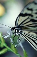 オオゴマダラ 02296000569| 写真素材・ストックフォト・画像・イラスト素材|アマナイメージズ