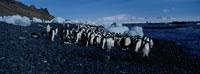 アデリーペンギンの群れ 夏 南極半島