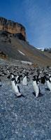 アデリーペンギンの群れ エスペランサ基地 南極半島