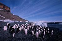 アデリーペンギンの群れと氷山 夏 南極