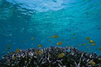 グレートバリアリーフのサンゴと魚 水中撮影 オーストラリア 02296000931| 写真素材・ストックフォト・画像・イラスト素材|アマナイメージズ