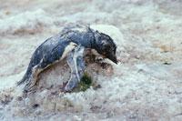 温暖化の犠牲のアデリーペンギン 夏 エレファント島 南極