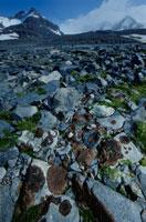 夏のエスペランサ基地の温暖化による岩の苔 南極半島