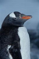 ポートロックロイのジェンツーペンギン 南極半島