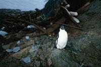 ごみとアデリーペンギン 夏 南極
