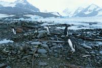 アイチョー島のごみとアデリーペンギン 南極半島
