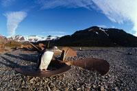 夏のサウスジョージア島のごみとジェンツーペンギン 南極