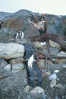 夏の南極に放置されたごみとアデリーペンギン