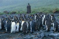 キングペンギンの群れ マッコリー島 南極