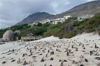 砂浜のアフリカンペンギンたち ボルダ-ズビーチ 南アフリカ 02296000966| 写真素材・ストックフォト・画像・イラスト素材|アマナイメージズ