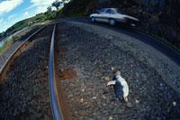 リトルペンギンの死体 タスマニア州 オーストラリア 02296000970| 写真素材・ストックフォト・画像・イラスト素材|アマナイメージズ