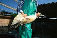 保護したケープシロカツオドリ サンコブ 南アフリカ