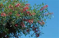 花(Erythrina crista-galli )